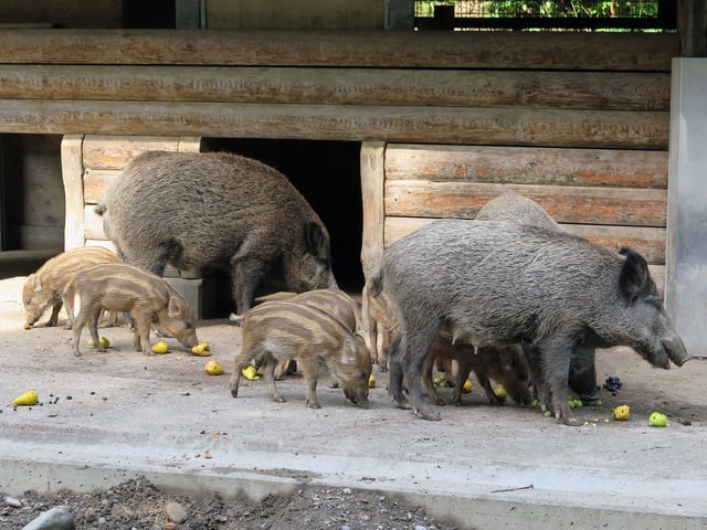 Wildschweine fressen Birnen