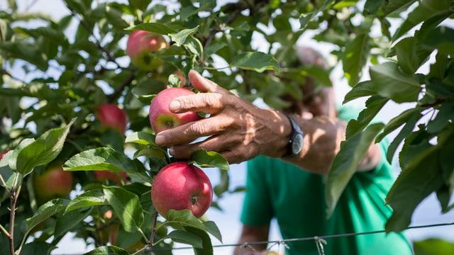 Mann liest Äpfel ab