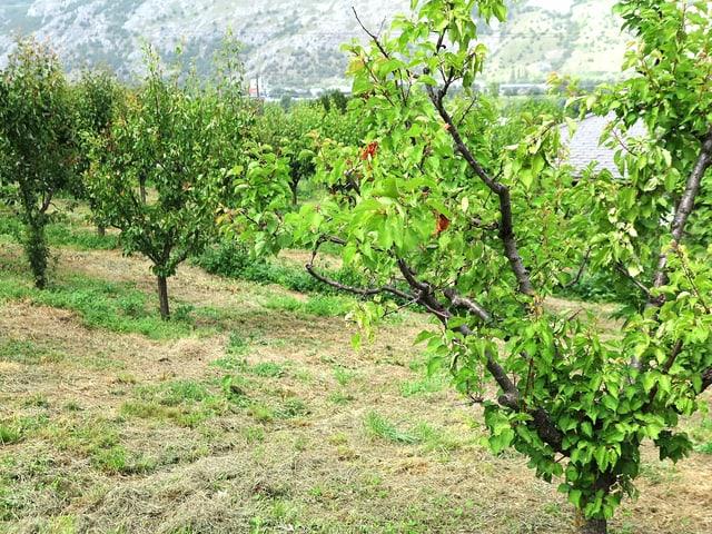 Leere Aprikosen-Bäume im Wallis.