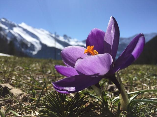 Ein Krokus blüht violett, dahinter erkennt man die verschneiten Alpen.