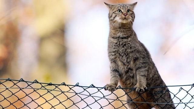 Symbolbild: Katze auf einem Maschendrahtzaun.