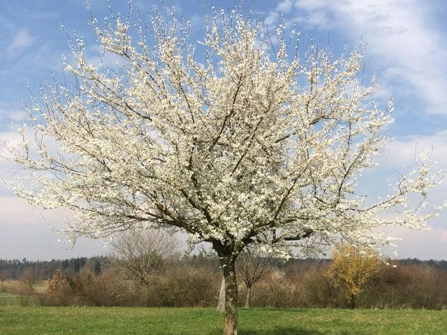Kirschbaum mit Blüten
