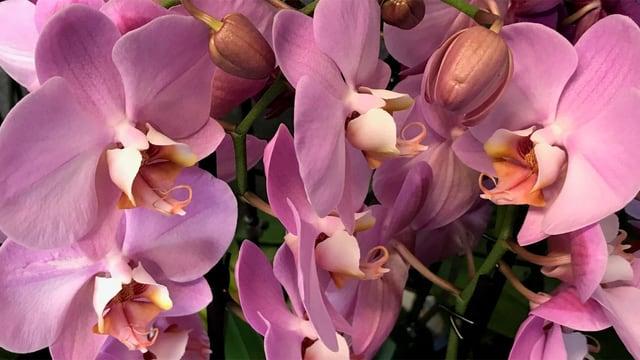 Nahaufnahme lila Orchideen-Blüten