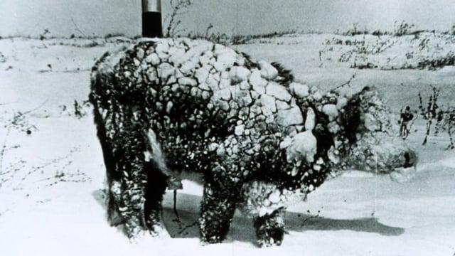 Ein junger Stier steht ganz schneeverziert in der Landschaft.