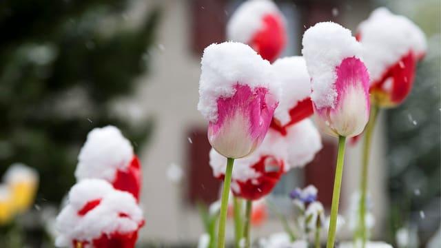 Schneebedeckte Tulpen