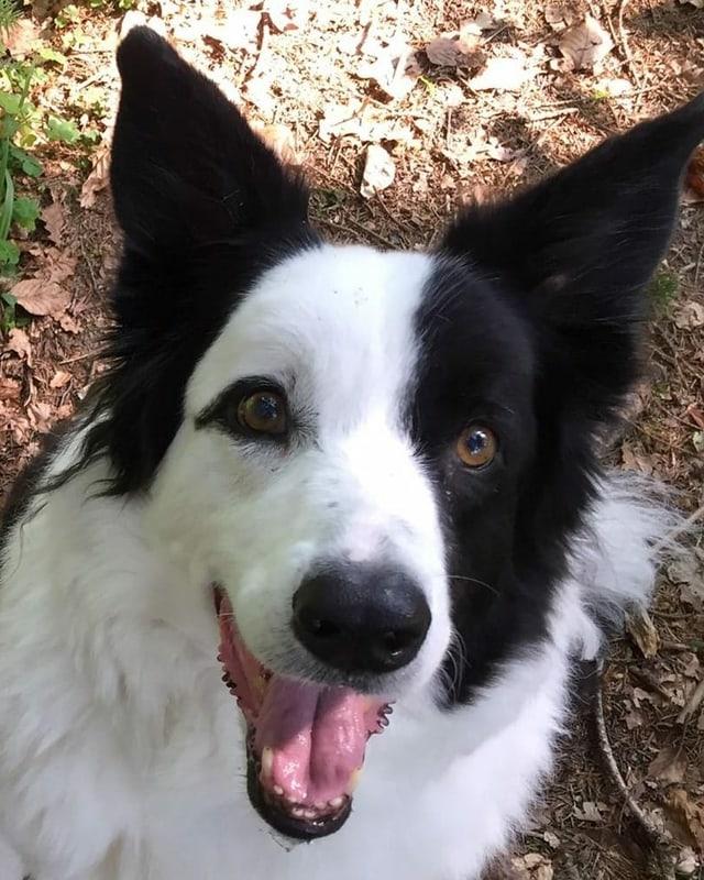 Ein Hund mit schwarz-weissem Fell.