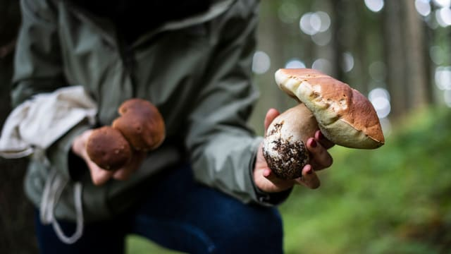Ein Pilzsammler zeigt seine Pilze.