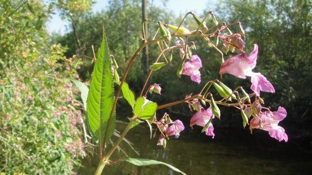 Pflanze mit lila Blüten und langezogenen Blättern, die an einem Bachufer wächst. Es ist das drüsige Springkraut.