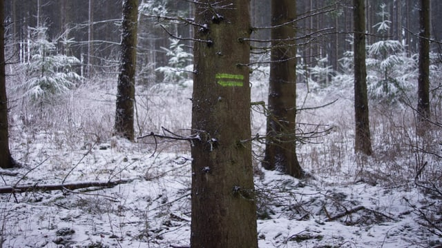 In einem Waldstück liegt etwas Schnee am Boden.