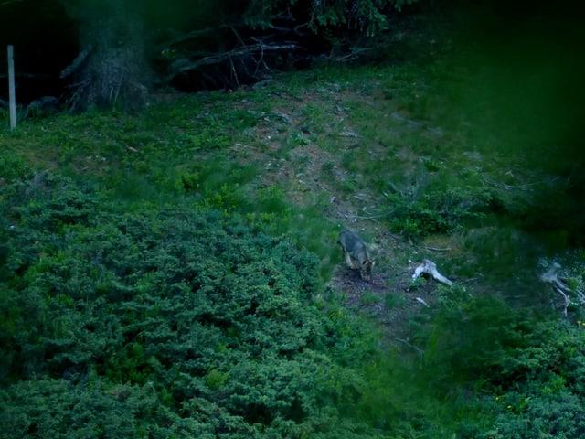 Wolf schnüffelt am Boden