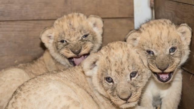 Drei Löwenbabies, die in die Kamera blicken