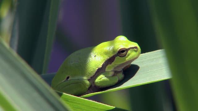 Ein Frosch auf einem Blatt.