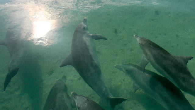 Schwarm Delfine in klarem Wasser