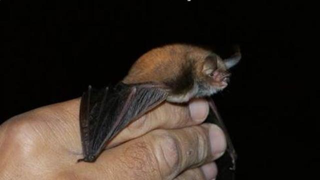 Fledermaus von einer Menschenhand gehalten