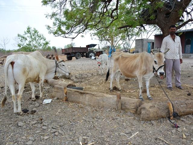Abgemagerte Rinder stehen vor einem Hof