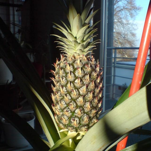 Ananasbaum
