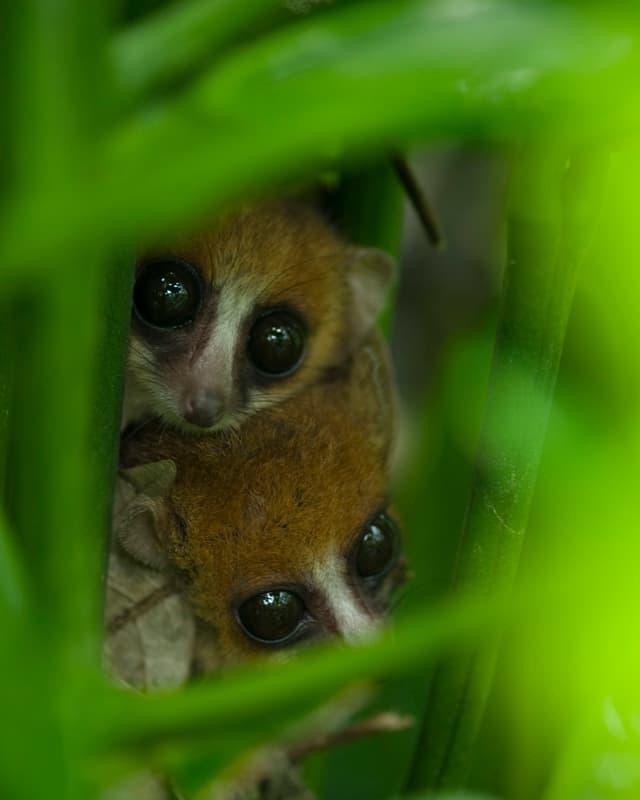 Zwei Mausmakis blicken zwischen Pflanzen hindurch.