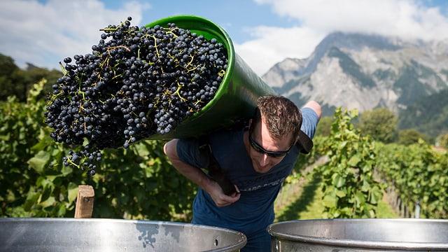 Viticultur derscha las ivas en ina tigna da metal.