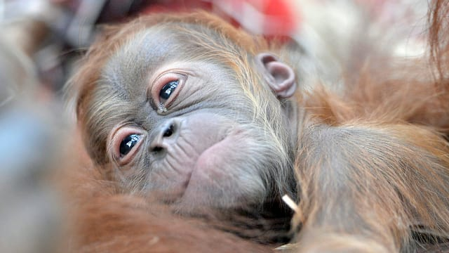 Orang-Utan-Baby in den Armen seiner Mutter.