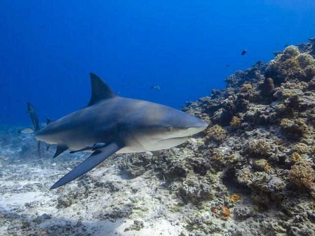 Hai schwimmt an einem Riff vorbei.