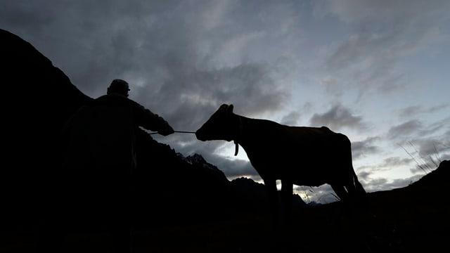 Älpler führt eine Kuh über eine Matte.
