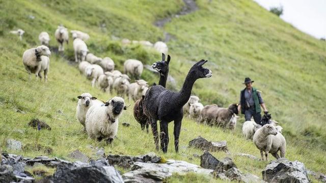 Lamas, Schafe und ein Bauer