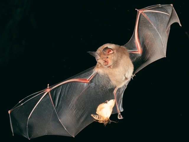 Fledermaus im Flug jagt Motte.