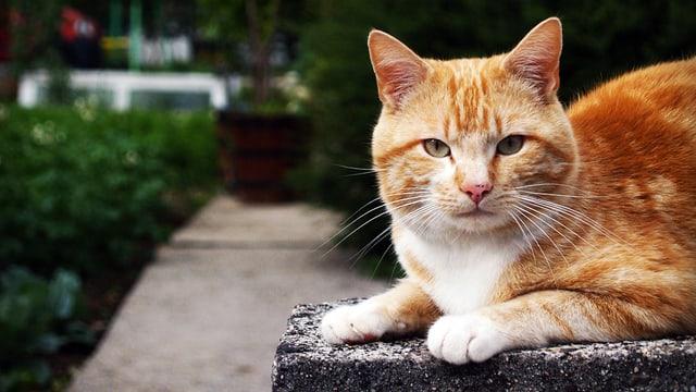 Eine rot getiegerte Katze liegt in einem Garten auf einem Stein.