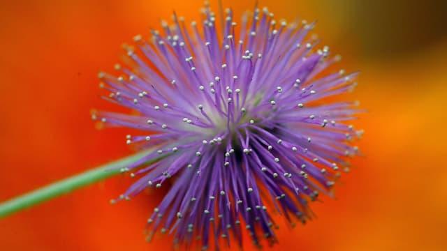 Blüte einer Mimose
