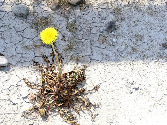 Trockener Boden mit einem Löwenzahn.