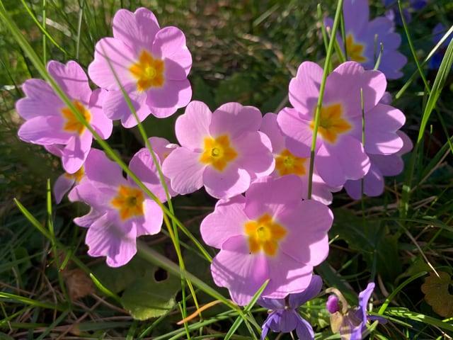 primulas violetas