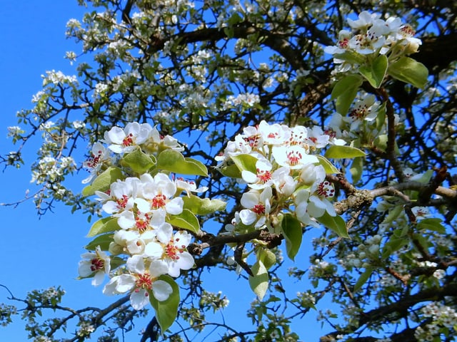 Birnbaumblüten vor blauem Himmel