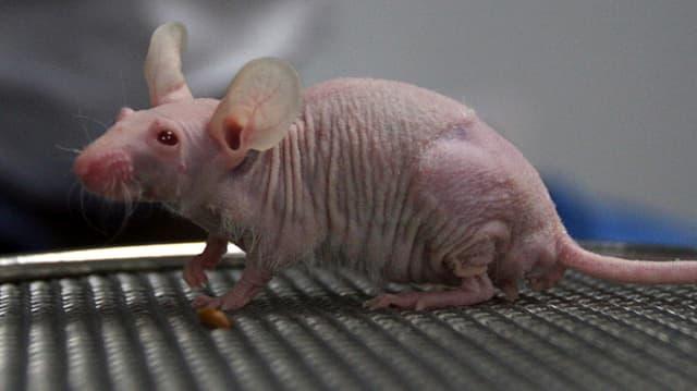 Die Mäuse der Krebsforscher
