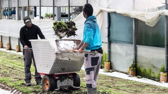 Flüchtlinge bei landwirtschaftlicher Arbeit in der Schweiz.