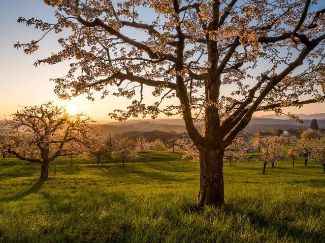 Wieso mit blühenden Kirschbäume, am Horizont die aufgehende Sonne.