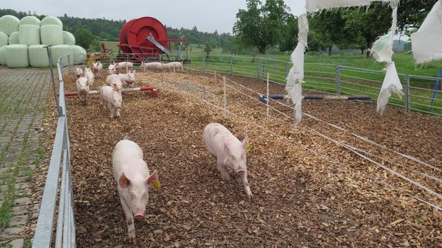 Schweine rennen auf einem Parcour.