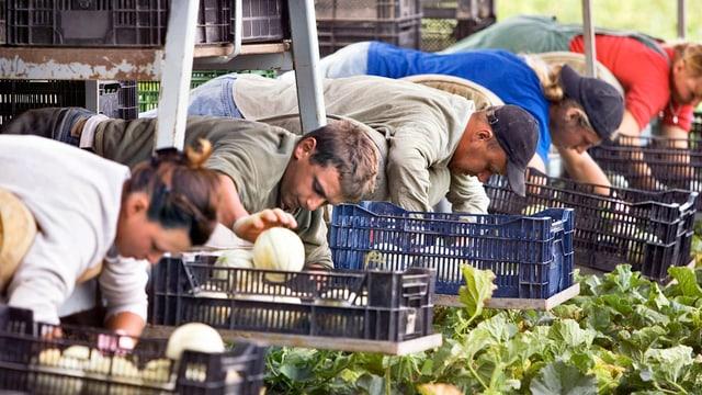 Purtret da lavurers che racoltan melonas.