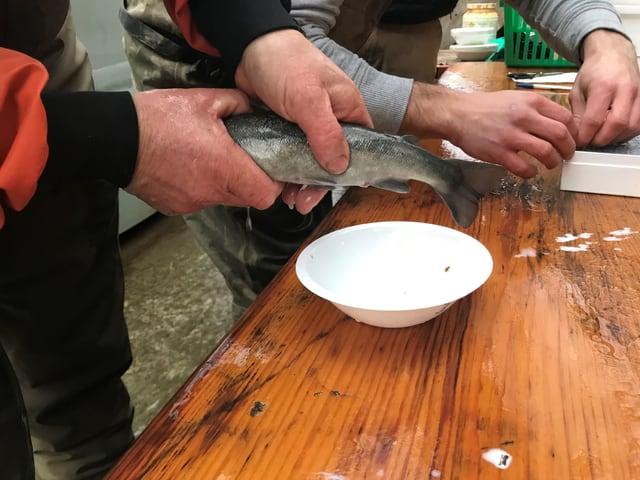 Spermien rausdrücken aus dem Lachs