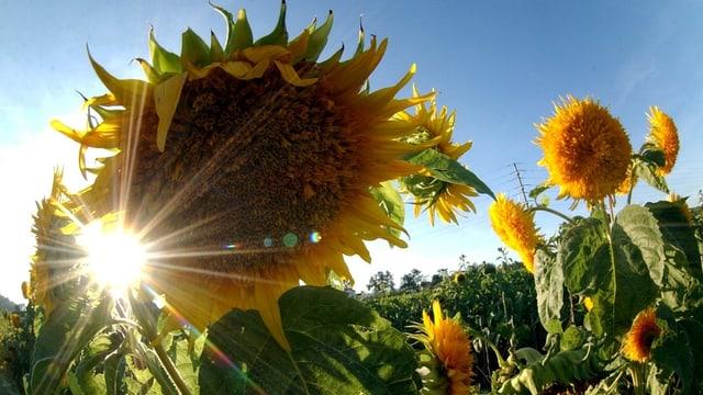 Sonnenblumenfeld und Sonne.