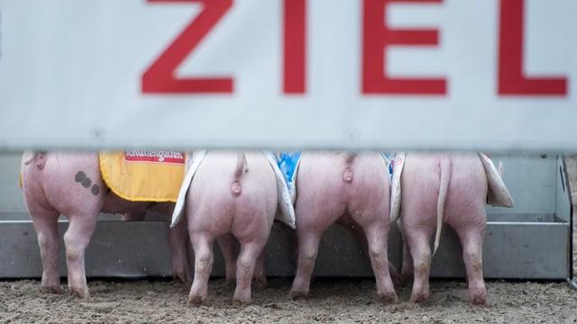 Ein Zielband, darunter vier Schweine.