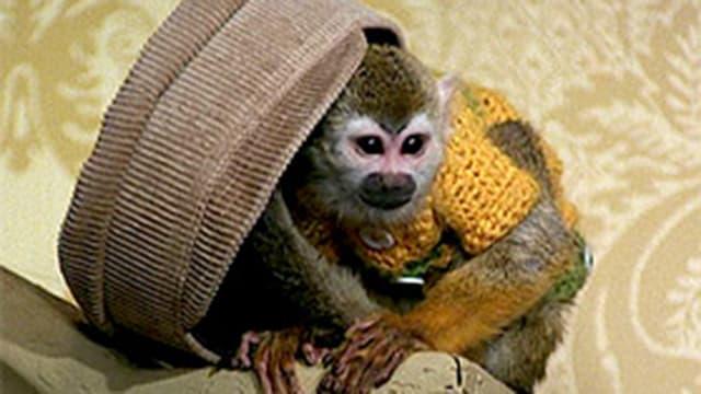 Kapuzineräffchen trägt Pullover und versteckt sich unter einer Mütze.