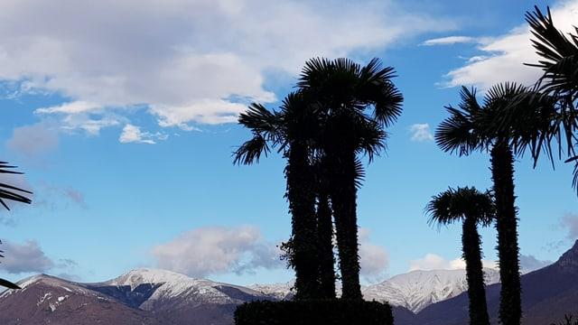 Palmen for Schneebergen und etwas blauem Himmel.