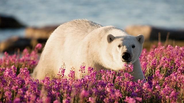 Video «Eisbärensommer» abspielen