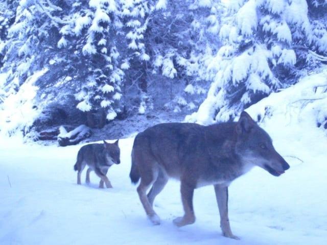 Wölfe in der Winterlandschaft