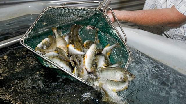 Fische werden mit einem Netz aus einem Becken einer Fischzucht gezogen.