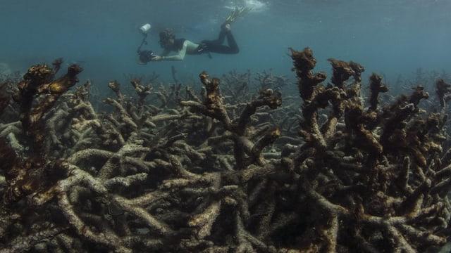 Ein Taucher gleitet mit einer Fotokamera über tote Korallen.