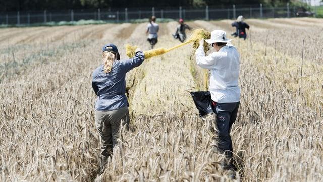 Zwei Personen arbeiten in einem Getreidefeld.