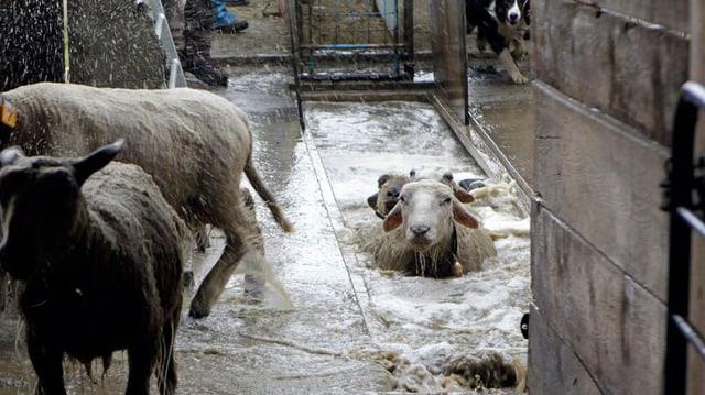 Schafe in einem Bad