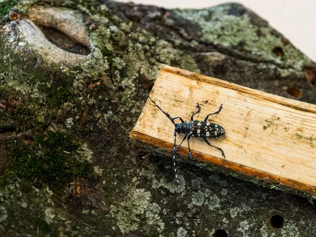 Käfer auf Baumrinde