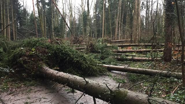 Reihenweise umgestürzte Bäume in einem Wald bei Hünenberg.